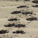 Hippopotamus footprints