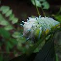 Sâu bướm đêm Atlas (Atlas moth)