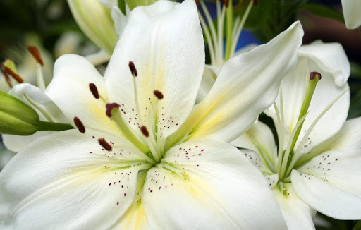 Lilies Wallpapers HD