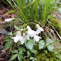 Slender Toothwort