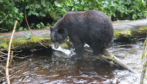 mama-bear-fishing - Here is the bear cubs' mom as she hunts for salmon in a nearby river.