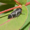 Eurymeloides bicincta