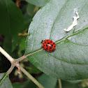 Multicoloured Asian Lady Beetle