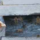 Western Honey Bee