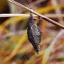 Bagworm Moth(pupa)