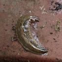 flat slug