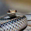 Mountain Patchnose Snake