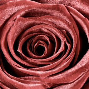 by Tom Mehlum - Flowers Single Flower ( rose, detailed, close up )