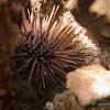 Rock-boring Urchin, Burrowing Urchin