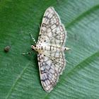 Cotton Leaf Roller