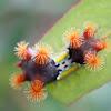 Mottled cupmoth