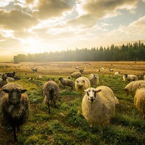Sheepy Morning by Jim Harmer - Landscapes Prairies, Meadows & Fields ( farm, ranch, fog, sheep, sunrise, morning, farming )