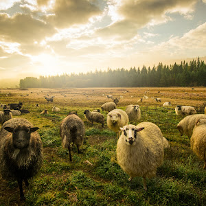sheepPixoto.jpg