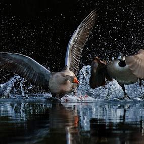 Mach die Flatter by Friedhelm Peters - Animals Birds ( water, splash, speed, pwcmovinganimals, action, goose,  )