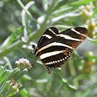 Longwing Zebra