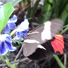 Ted Chestnut or Erato Longwing