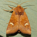 American Ear Moth - white spotted