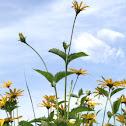 Yellow flowers similar to Black-Eyed Susans.