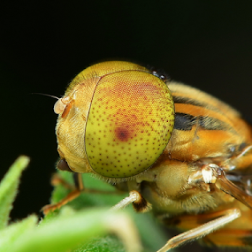 Hoverfly by Niney Azman - Animals Insects & Spiders ( macro trsu )