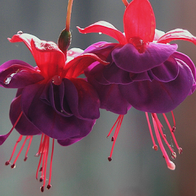 Fushia by Sherri Woodbridge - Flowers Flower Gardens ( purple, flowering plants, fushias, plants, gardens, pink, hanging flower, fushia gardens, flowers,  )
