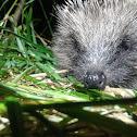 European hedgehog or Common hedgehog