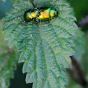 Mint Leaf Beetle, escarabajo de la menta