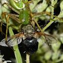 Green lynx spider vs. bee fly