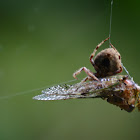 Orb-weaver Cicada and wasp