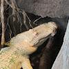 Albino Alligator