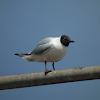 Black-headed Gull (summer)