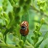 Polished Ladybeetle