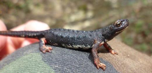 Salamandrina perspicillata