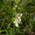 Perennial yellow woundwort / Изправен ранилист