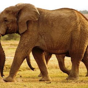 The Guardian by Nadir Aziz - Animals Other Mammals ( elephant, wildlife, grey, giant, animal,  )