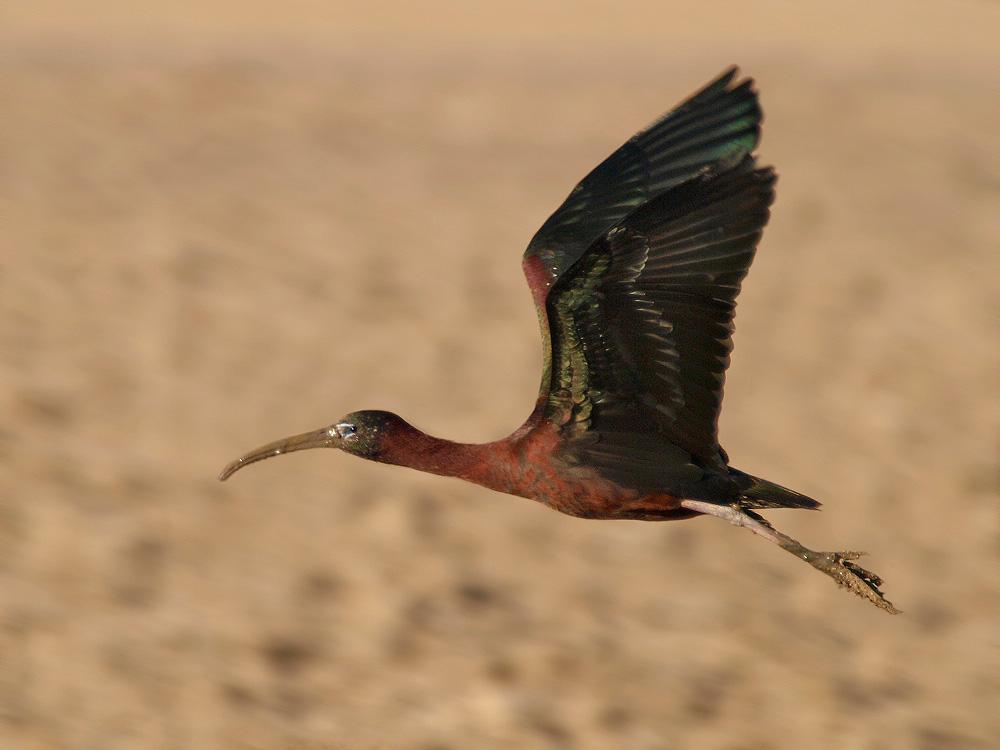 Morito (Glossy ibis)