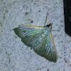 Parotis Crambid Moth