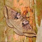 Black bit moth