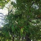 Montipellier Maple