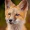 Fox_GTG_Edit.jpg