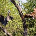 Osprey & Great Blue Heron