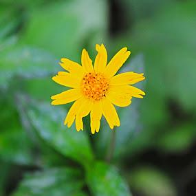 Belladona by Arjun Madhav - Flowers Single Flower ( plant, wild, single, nature, yellow, yellow flower, flower,  )