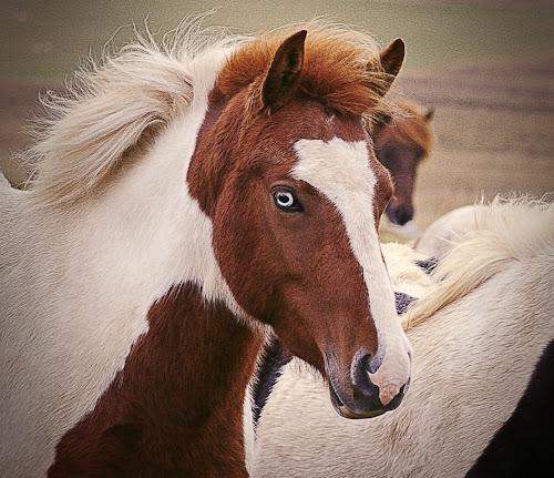 The look... by Kristján Karlsson - Animals Horses
