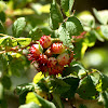 Prickly rose gall