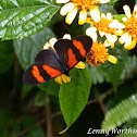 Red-banded Actinote