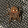 Spikey Field Spider