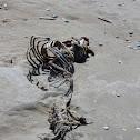 Harbour porpoise (remains)