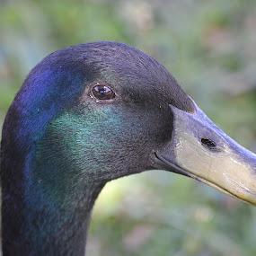 Like My Brushed Bill Look! by Ed Hanson - Animals Birds ( bird, nature, bill, duck, profile )