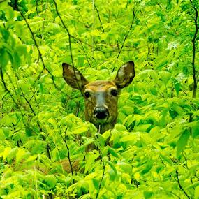 A curious deer by Chris Clay - Animals Other Mammals ( bellevue, forest, nebraska, fontenelleforest, deer )