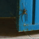 Mexican House Spider