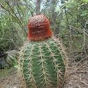 Turk's head cactus